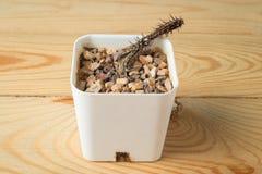 Nieżywy kaktus Obraz Stock