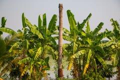 Nieżywy kokosowy drzewo Obrazy Royalty Free
