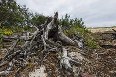 nieżywy korzeniowy drzewo Obraz Royalty Free