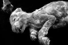 Nieżywy lwa szczeniak Zdjęcie Royalty Free