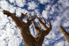 Nieżywy Saguaro kaktus Fotografia Royalty Free