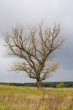 nieżywy stary drzewo Zdjęcia Royalty Free