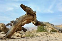 Nieżywy suchy drzewo w pustynia negew obrazy stock