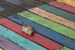 Nieżywy szczur na deskach Zdjęcia Royalty Free