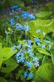 nie zapomnij Błękitni dzicy kwiaty w wiosna lesie Fotografia Royalty Free