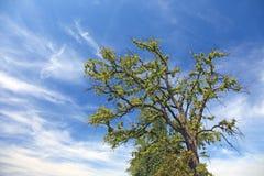 nieba błękitny osamotniony drzewo zdjęcia royalty free