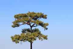 nieba sosnowy drzewo Zdjęcia Stock