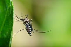 niebezpieczeństwa lasu ogródu komar Obraz Royalty Free