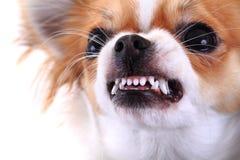 niebezpieczna chihuahua twarz Obrazy Stock