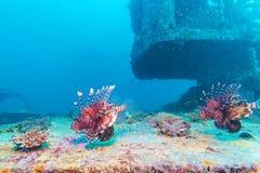 Niebezpieczna lew ryba blisko Shipwreck fotografia royalty free