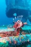 Niebezpieczna lew ryba blisko Shipwreck zdjęcia royalty free