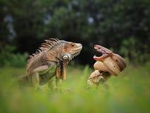 Niebezpieczna przyjaźń iguana i wąż zdjęcia royalty free