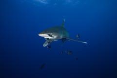 Niebezpiecznego dużego rekinu Czerwony morze Fotografia Stock