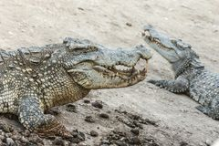 Niebezpieczni przyroda krokodyle żyje w naturze Obraz Royalty Free