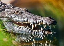Niebezpieczny Amerykański krokodyl W wodzie Obraz Stock