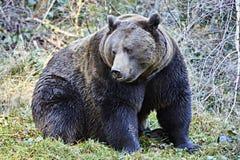 Niebezpieczny duży brown niedźwiedź Fotografia Royalty Free
