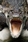 Niebezpieczny krokodyl Obrazy Royalty Free