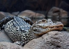 Niebezpieczny krokodyl Zdjęcia Stock