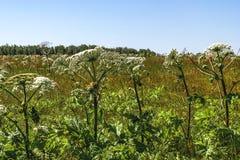 Niebezpieczny rośliny Heracleum sosnowskyi, indywidualne rośliny w polu, kwitnie parasole zdjęcia royalty free