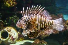 Niebezpieczny substanci toksycznej dealy Lionfish fotografia stock