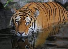 niebezpieczny tygrys Obrazy Royalty Free