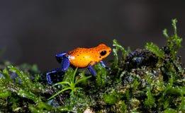 Niebiescy dżinsy strzałki żaba, Costa Ric Obrazy Stock