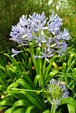 niebieska afrykańskim lily Obraz Stock