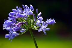 niebieska afrykańskim lily Zdjęcie Stock