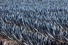 niebieska agawy fotografia stock
