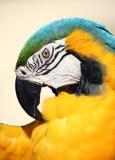 niebieska ara preening złota obraz royalty free