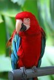 niebieska ary papugi czerwony zdjęcia stock
