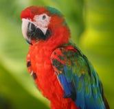 niebieska ary papugi czerwony fotografia royalty free