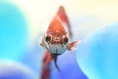 niebieska beta Zdjęcia Stock