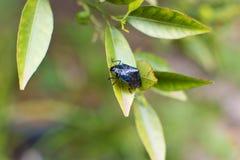 niebieska bug Zdjęcie Stock