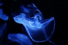 niebieska galaretka obrazy stock