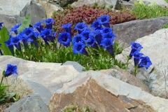 niebieska gencjana Zdjęcia Stock