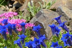 niebieska gencjana Obraz Royalty Free