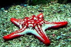 niebieska gwiazda czerwieni Obrazy Royalty Free