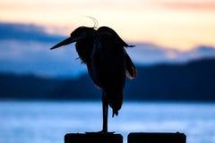 niebieska heron obraz stock