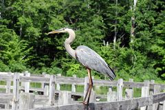 niebieska heron Fotografia Royalty Free