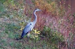 niebieska heron Obrazy Royalty Free