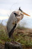 niebieska heron Zdjęcie Royalty Free