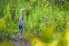 niebieska heron Zdjęcie Stock