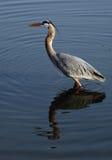niebieska heron Obraz Royalty Free