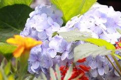 niebieska hortensji Zdjęcie Royalty Free