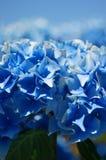 niebieska hortensji Obraz Stock