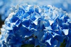 niebieska hortensji Zdjęcia Stock