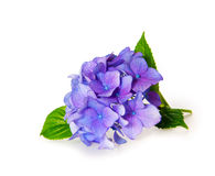 niebieska hortensji Obraz Royalty Free
