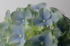 niebieska hortensji Zdjęcia Royalty Free