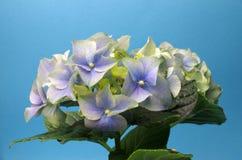 niebieska hortensji Fotografia Royalty Free